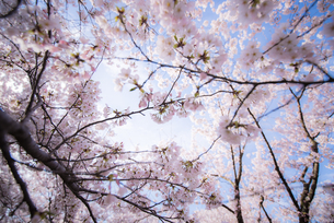 鶴岡公園 日本 山形県 鶴岡市の写真素材 [FYI03153467]