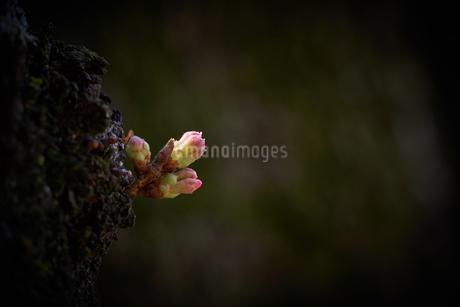 桜の木 脇芽 蕾の写真素材 [FYI03153482]