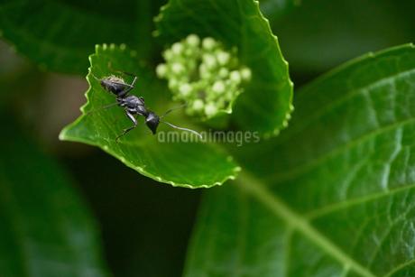 蟻 アジサイの葉 マクロの写真素材 [FYI03153490]