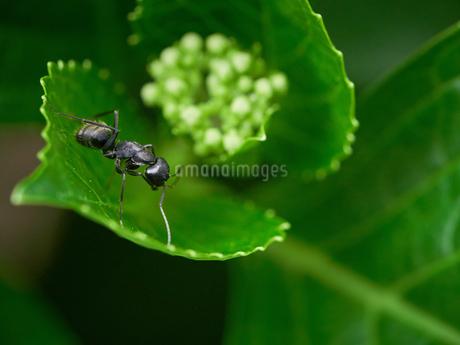 蟻 マクロ撮影の写真素材 [FYI03153491]
