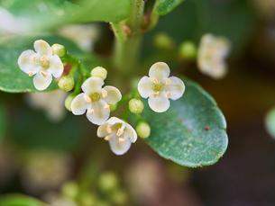 イヌツゲの花の写真素材 [FYI03153494]