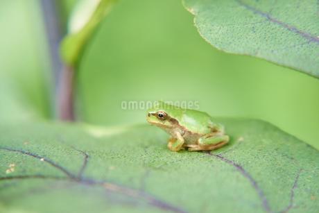 葉っぱの上で物思いにふけるカエルの写真素材 [FYI03153505]
