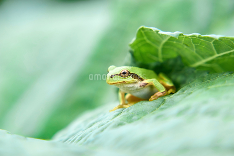 葉っぱの上で遠くを見つめるアマガエルの写真素材 [FYI03153507]