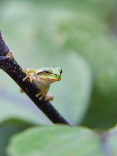 枝の上から遠くの様子をうかがうアマガエルの写真素材 [FYI03153509]