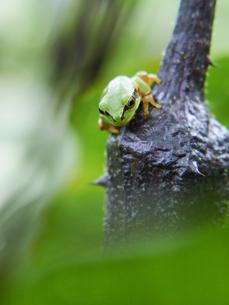 茄子の上から下の様子をうかがうアマガエルの写真素材 [FYI03153510]