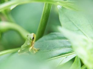 葉の間から上を見上げるアマガエルの写真素材 [FYI03153511]