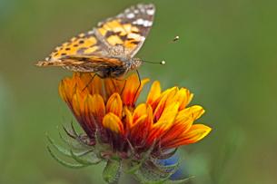 赤みかかった黄色っぽい大きな花にとまって蜜を吸うヒメアカタテハ蝶の景色の写真素材 [FYI03153637]