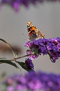 紫の小さな花の固まりにとまって蜜を吸っているヒメアカタテハ蝶の風景の写真素材 [FYI03153642]