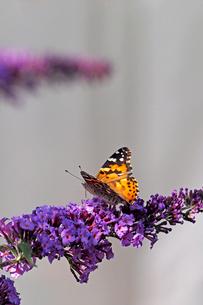 紫の小さな花の固まりにとまって蜜を吸うヒメアカタテハ蝶の写真素材 [FYI03153646]