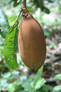 アマゾン産の熱帯果樹クプアスの写真素材 [FYI03153658]