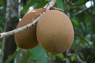 アマゾン産の熱帯果樹クプアスの写真素材 [FYI03153659]