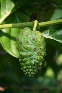アマゾン地域で栽培されているノニの写真素材 [FYI03153660]