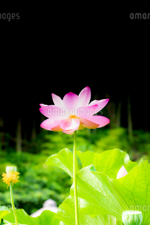 """古代蓮  美しい蓮の花が咲きました  ハスの花言葉は「清らかな心」「神聖」 Ancient lotus  Beautiful lotus flower bloomed  Lotus flower language is """"clean heart"""" """"sacred""""の写真素材 [FYI03153724]"""