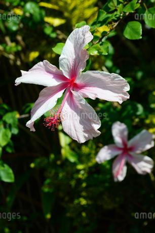 沖縄の淡いピンクのハイビスカスの花の写真素材 [FYI03153788]