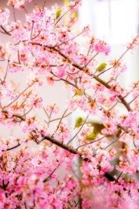 桜 日本 神奈川県 三浦市の写真素材 [FYI03153827]