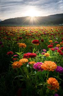 花の都公園 日本 山梨県 山中湖村の写真素材 [FYI03153843]