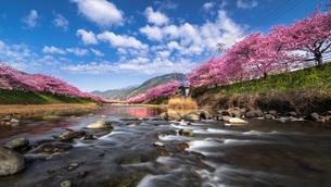 河津桜まつり 日本 静岡県 河津町の写真素材 [FYI03153875]