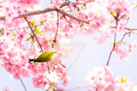 河津桜まつり 日本 静岡県 河津町の写真素材 [FYI03153876]