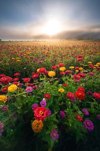 花の都公園 日本 山梨県 山中湖村の写真素材 [FYI03153899]