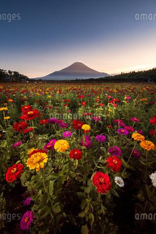 花の都公園 日本 山梨県 山中湖村の写真素材 [FYI03153900]