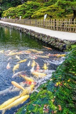 湧水に群がる池の錦鯉の写真素材 [FYI03153922]