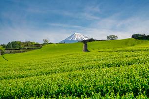 今宮の茶畑 日本 静岡県 富士市の写真素材 [FYI03153948]