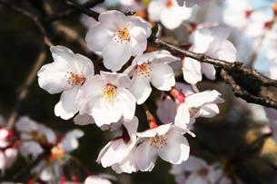 枝と幹を背景にした桜の花の写真素材 [FYI03153955]