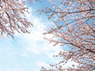 晴れた日のさわやかな桜の花の写真素材 [FYI03153956]