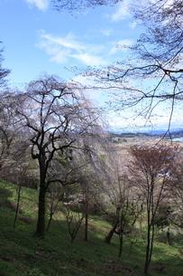 東北の春「中尊寺の桜」の写真素材 [FYI03153960]