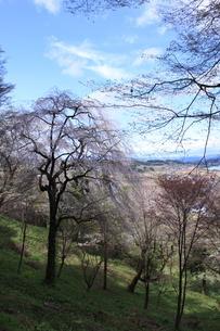 東北の春「中尊寺の桜」の写真素材 [FYI03153961]