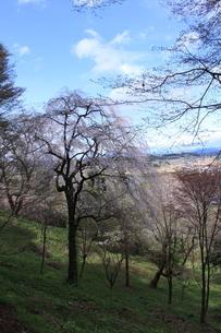 東北の春「中尊寺の桜」の写真素材 [FYI03153962]
