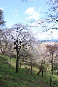 東北の春「中尊寺の桜」の写真素材 [FYI03153963]