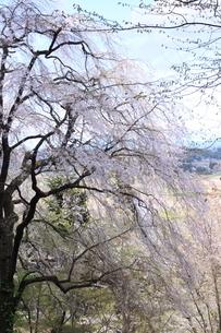 世界遺産 中尊寺の桜の写真素材 [FYI03153964]