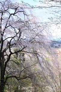 世界遺産 中尊寺の桜の写真素材 [FYI03153965]