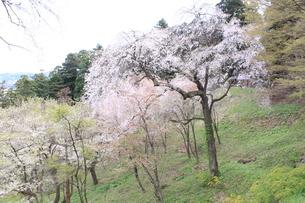 東北の春 中尊寺の桜4の写真素材 [FYI03153967]
