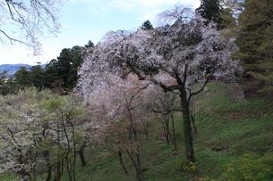 東北の春 中尊寺の桜4の写真素材 [FYI03153968]