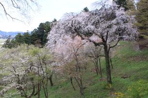 東北の春 中尊寺の桜4の写真素材 [FYI03153969]