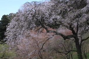 世界遺産 中尊寺の桜の写真素材 [FYI03153971]