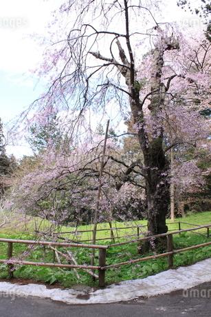 東北の春 中尊寺の桜3の写真素材 [FYI03153972]