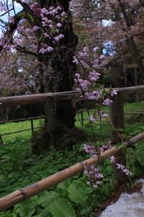 東北の春 中尊寺の桜2の写真素材 [FYI03153973]
