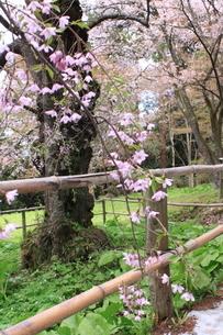 東北の春 中尊寺の桜2の写真素材 [FYI03153975]