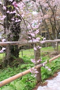 中尊寺の桜の写真素材の写真素材 [FYI03153976]