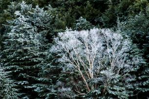 横岳樹林の霧氷の写真素材 [FYI03154104]