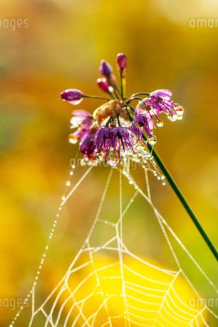朝露輝くヤマラッキョウの花と蜘蛛の糸の写真素材 [FYI03154183]