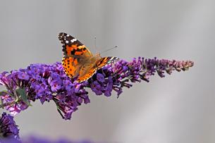 北米コロラド州で撮影した、紫っぽい小さな花にとまって蜜を吸うヒメアカタテハ蝶の風景の写真素材 [FYI03154194]