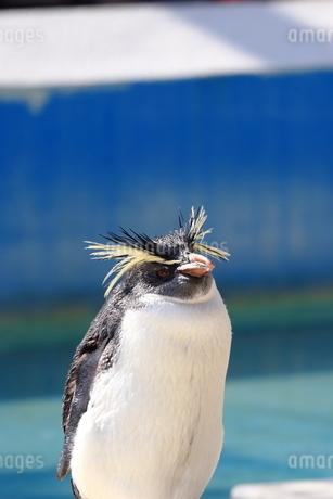 イワトビペンギンの写真素材 [FYI03154237]