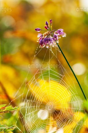 朝露輝くヤマラッキョウの花と蜘蛛の糸の写真素材 [FYI03154300]