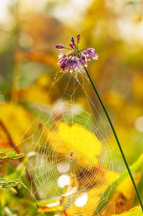 朝露輝くヤマラッキョウの花と蜘蛛の糸の写真素材 [FYI03154301]