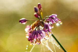 朝露輝くヤマラッキョウの花の写真素材 [FYI03154302]