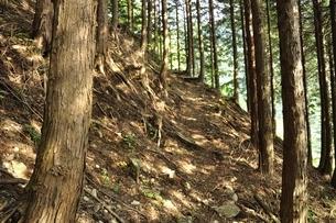 白馬尾根 朝日の木漏れ日の写真素材 [FYI03154530]